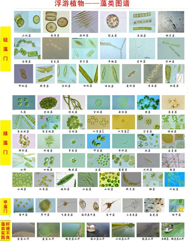 浮游植物--藻类图谱